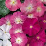 Vinca Arizona Mix