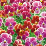 Viola Psychedelic Spring