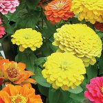 Zinnia Border Beauty Mix Hybrid