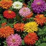 Zinnia Burpeeana Giants Mix