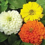 Zinnia Citrus Mix