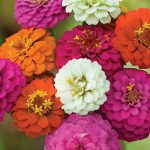 Zinnia Cut & Come Again Mix