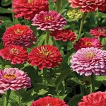 Zinnia Exquisite