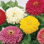 Zinnia Giant Flowered Mixed Colors