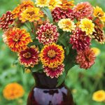 Zinnia Jazzy Mix