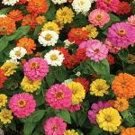 Zinnia Thumbelina Mix