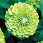 Zinnia Tequila Lime