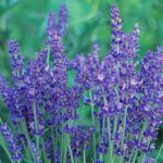 Lavender English