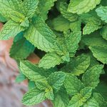 Mint Spearmint
