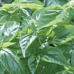 Basil Genovese Organic