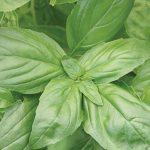 Basil Large Leaf Organic