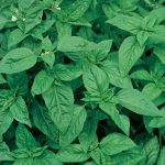Basil Sweet Organic