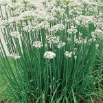 Chives Garlic Organic