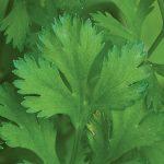 Cilantro (Coriander) Organic