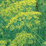 Herb Dill Bouquet Organic