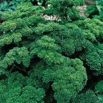 Parsley Double Curled Organic