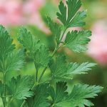 Parsley Plain Organic