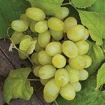 Grape Marquis Seedless