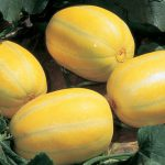 Melon Early Silverline