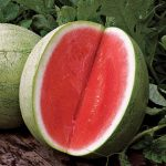 Watermelon Seedless Big Tasty Hybrid