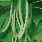 Bean Kentucky Wonder Organic