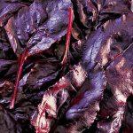 Beet Bull's Blood