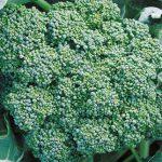 Broccoli Calabrese Organic