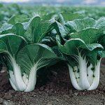 Chinese Cabbage Pak Choi Joi Choi Hybrid