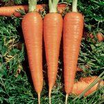 Carrot Danvers 126 Half Long Organic