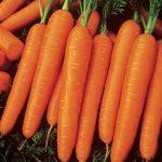 Carrot Scarlet Nantes Organic