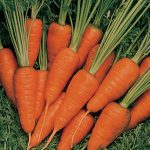Carrot Short 'N Sweet