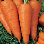 Carrot Sweet Treat Hybrid