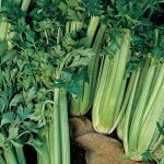 Celery Tall Utah 52-70R Improved