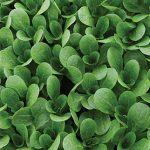 Corn Salad Vit (Mild) Organic