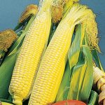 Corn Golden Bantam Organic