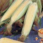 Corn Kandy Korn (SE) Hybrid