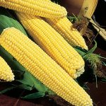 Corn Northern Xtra-Sweet Hybrid