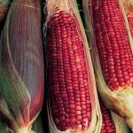 Corn Ruby Queen Hybrid