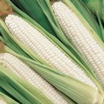 Corn Silver Choice Hybrid