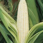 Corn Silver Queen Hybrid