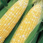 Corn Sun & Stars Bicolor Hybrid