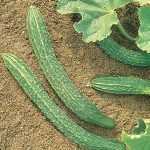 Cucumber Palace King Hybrid