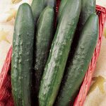 Cucumber Sweeter Yet Hybrid