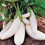 Eggplant Crescent Moon Hybrid