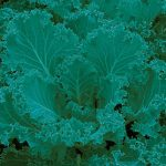 Kale Dwarf Blue Curled Vates