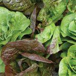 Lettuce Bibb Blend