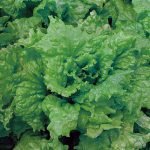 Lettuce Black Seeded Simpson Organic