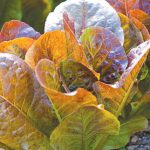 Lettuce Four Seasons Organic