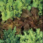 Lettuce Gourmet Blend Organic