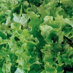 Lettuce Salad Bowl Green Organic